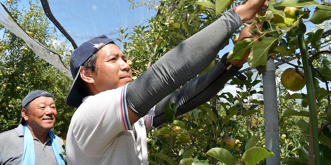 果実を取る農家の方