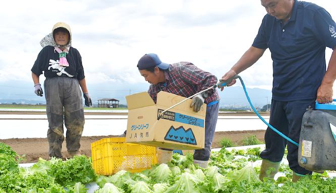 野菜の手入れをする農家の人々